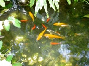 בריכת נוי לדגים