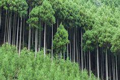 יער עצים הגדלים בשיטת הדאיסוגי daisugi